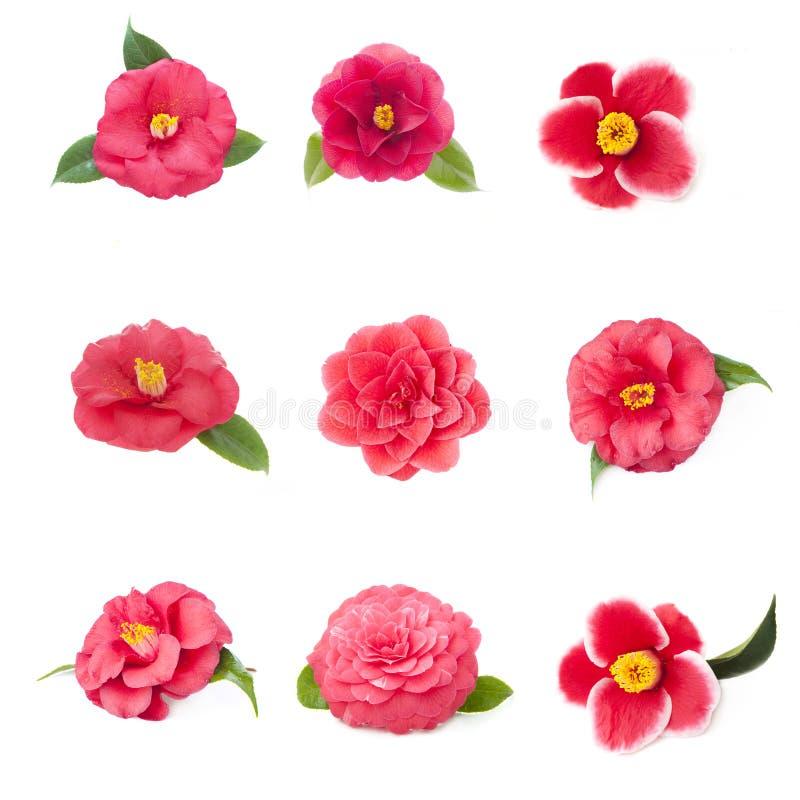 Différentes fleurs de camélia sur un fond blanc image libre de droits