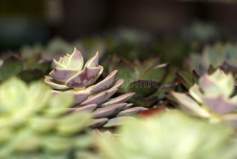 Différentes variétés d'echeveria dans le fleuriste photo libre de droits