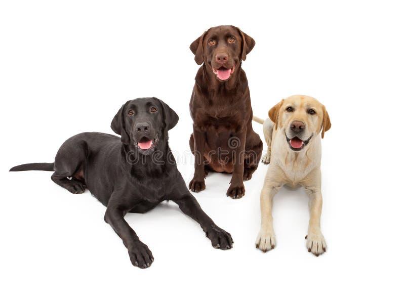 Différents crabots de chien d'arrêt de Labrador de couleur photos libres de droits