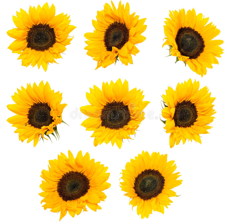 Differen Sunflowers isolated on white stock images