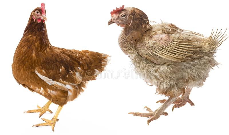 The difference between free-range hen and hen from intensive breeding. Layers - hen from intensive indoor farming - animal protection concept - the difference stock photo