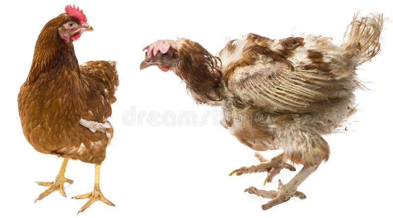 The difference between free-range hen and hen from intensive breeding. Layers - hen from intensive indoor farming - animal protection concept - the difference stock photos