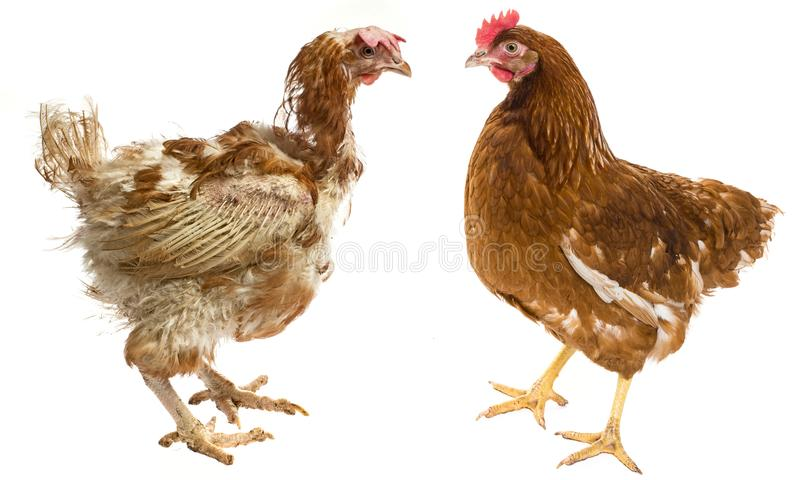 The difference between free-range hen and hen from intensive breeding. Layers - hen from intensive indoor farming - animal protection concept - the difference royalty free stock photos
