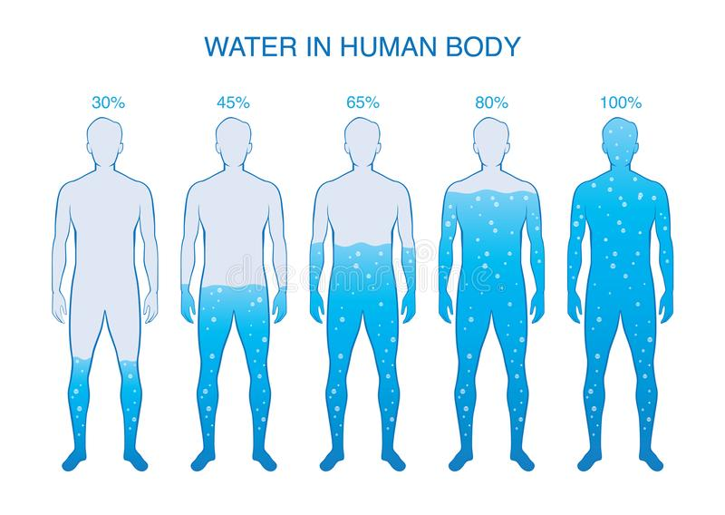 Difference percentage of water in the human body. vector illustration