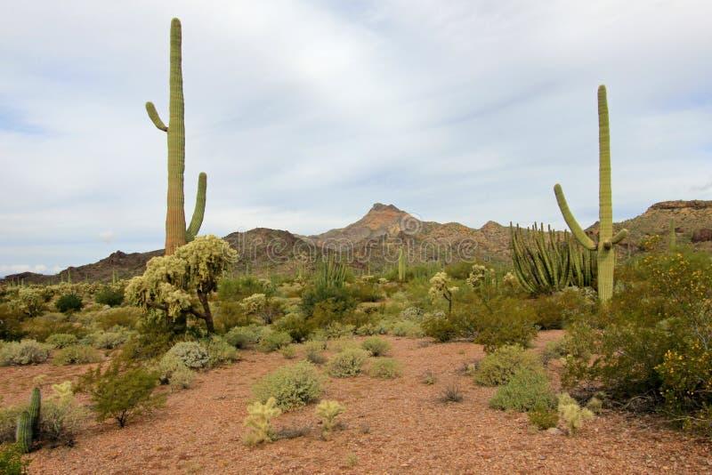 Different cactus species in Organ Pipe Cactus National Monument, Arizona, USA. Different cactus species in Organ Pipe Cactus National Monument, Ajo, Arizona, USA royalty free stock photo