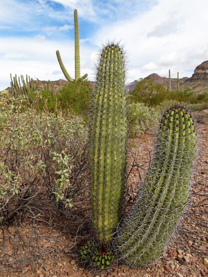 Different cactus species in Organ Pipe Cactus National Monument, Arizona, USA. Different cactus species in Organ Pipe Cactus National Monument, Ajo, Arizona, USA royalty free stock photos