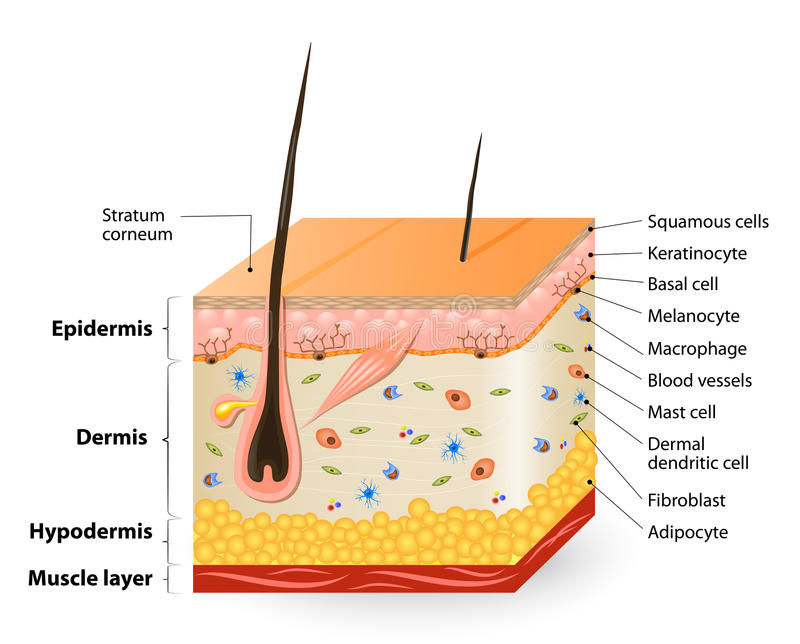 Different cell types populating the skin stock illustration