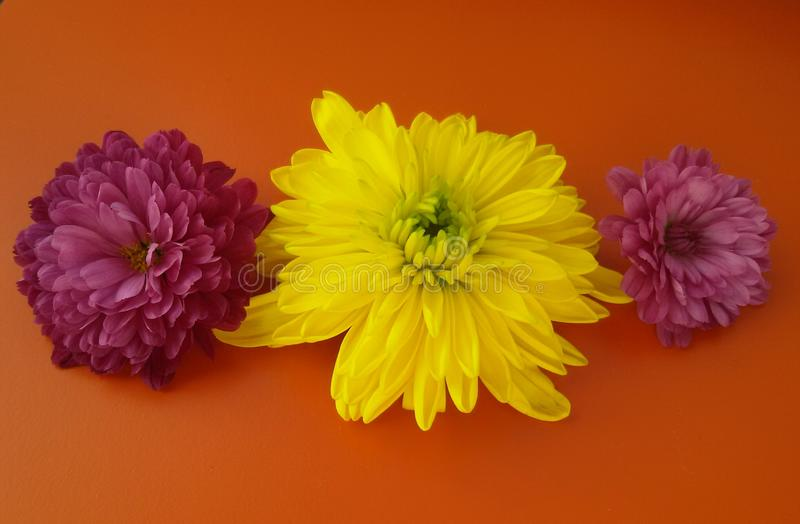 Different chrysanthemum flowers over orange background. Beautiful blossom. stock images