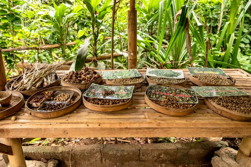 The Straight Scoop on Indonesian Kopi Luwak 'Poop Coffee ...  Kopi Luwak Coffee Plantations