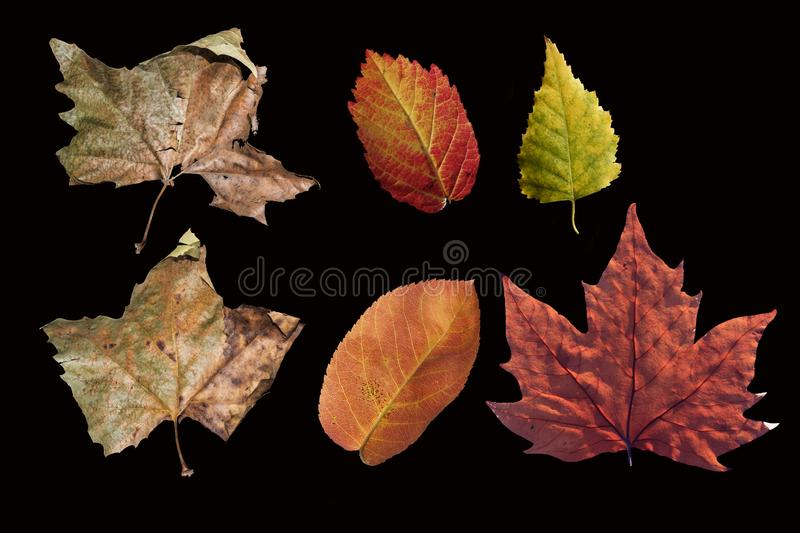 Different colored fall leaves. Set of olorful leaves isolated on black background. Autumn beautiful green, yellow, red and orange royalty free stock photo