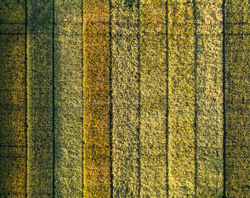 Different colors on an experimental culture of wheat. Several wheat varieties in different colors on an experimental culture seen from above by a professional stock images