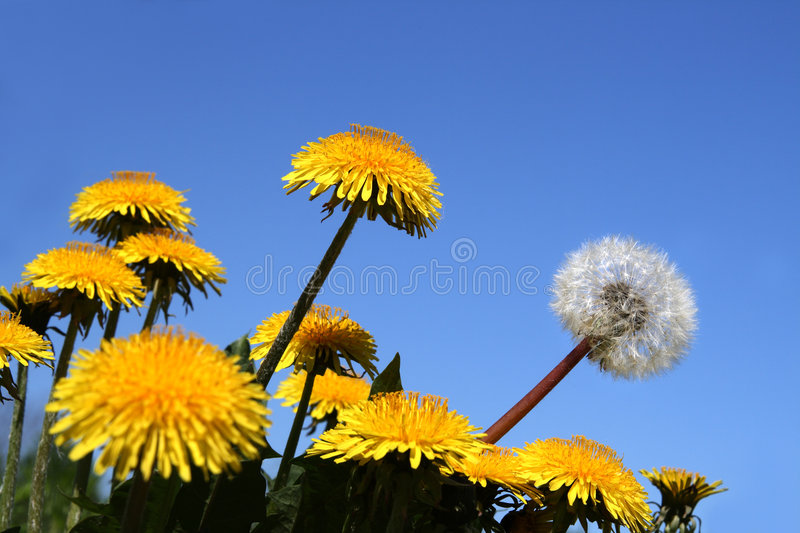 Download Different Concepts With Dandelions Royalty Free Stock Image - Image: 5234536
