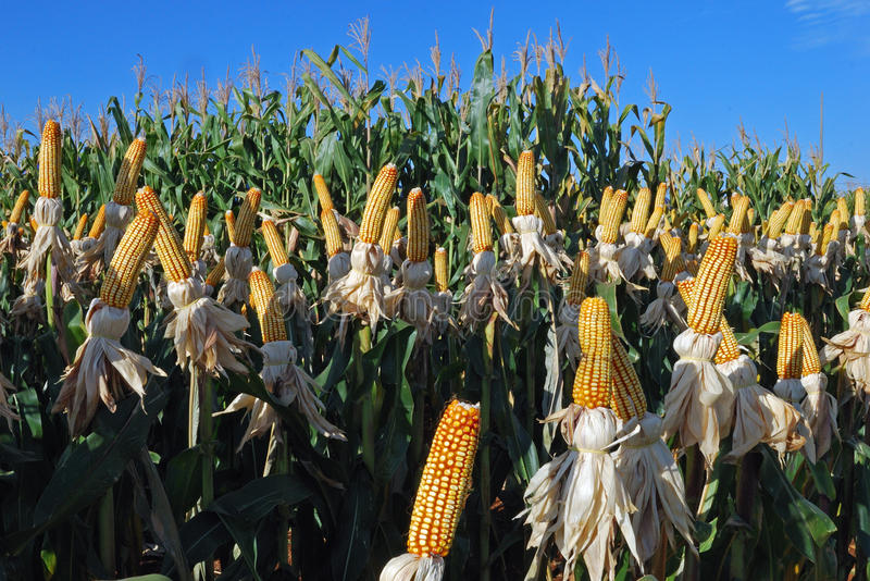 Different corn plantation. A diferent ear of corn in a farm royalty free stock photos