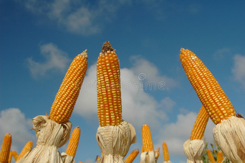Download Different corns stock photo. Image of different, corn, plantation - 524310