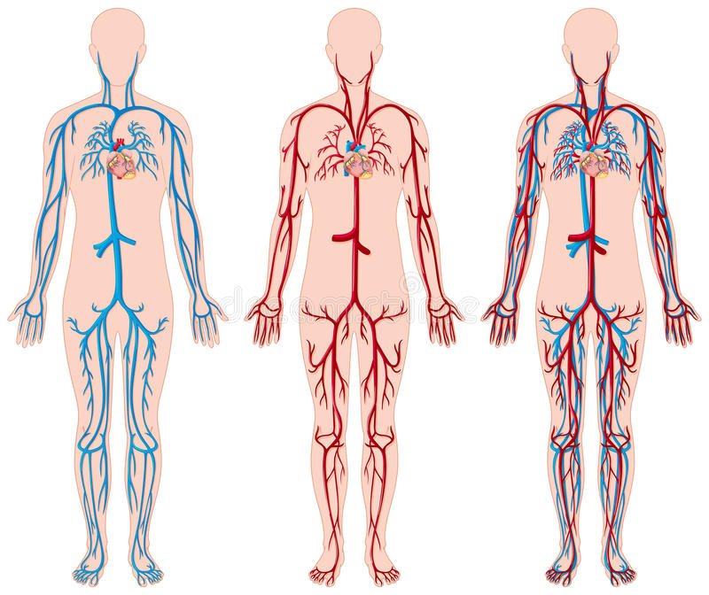 Different Diagram Of Blood Vessels In Human Stock Vector ...