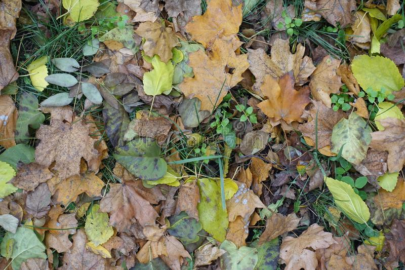 Different fallen leaves in green grass stock image