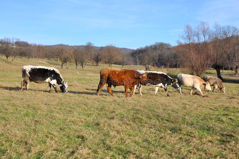Different farm cows royalty free stock images