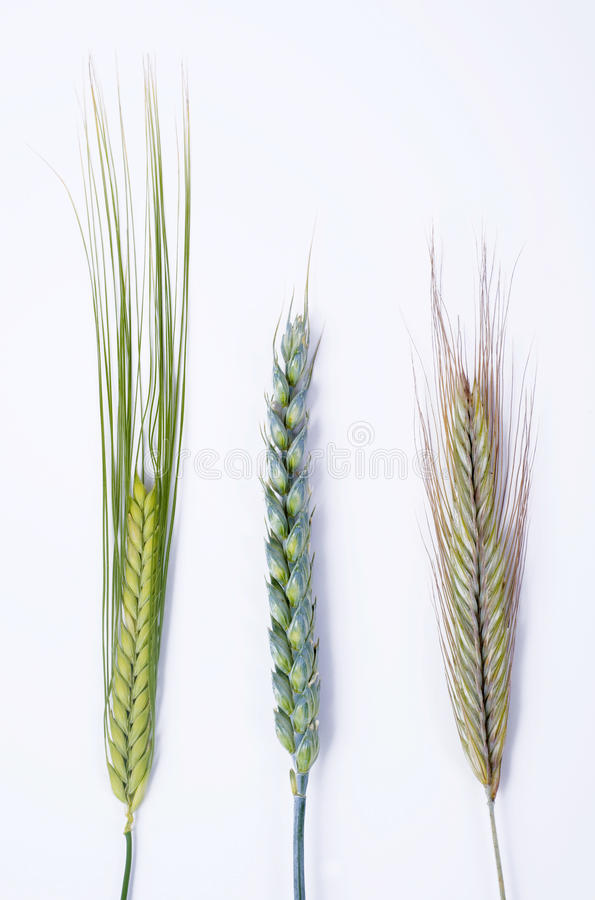 Different grain. Three different sorts of grain like barley, wheat and rye isolated on white background, closeup image stock images