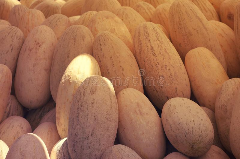 Group of fresh ripe yellow sweet melons. Cantaloupe melons for sale in organic farm. Toned image. Different group of fresh ripe yellow sweet melons. Cantaloupe stock photos