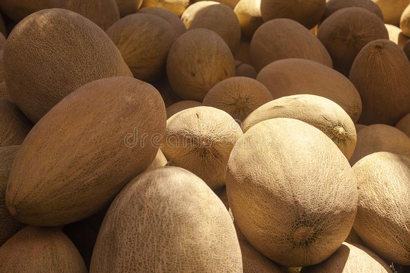 Group of fresh ripe yellow sweet melons. Cantaloupe melons for sale in organic farm. Different group of fresh ripe yellow sweet melons. Cantaloupe melons for stock photography