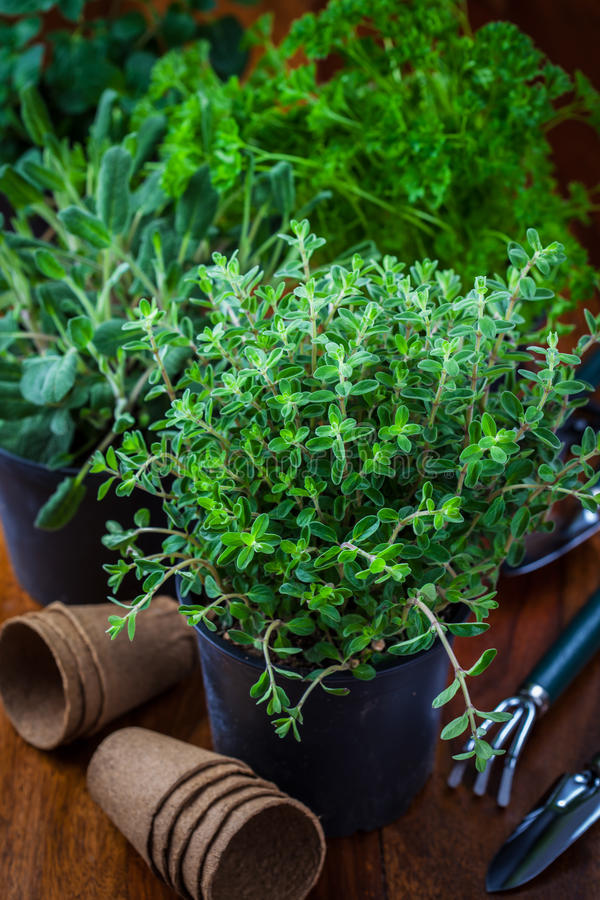 Different herbs for planting stock image