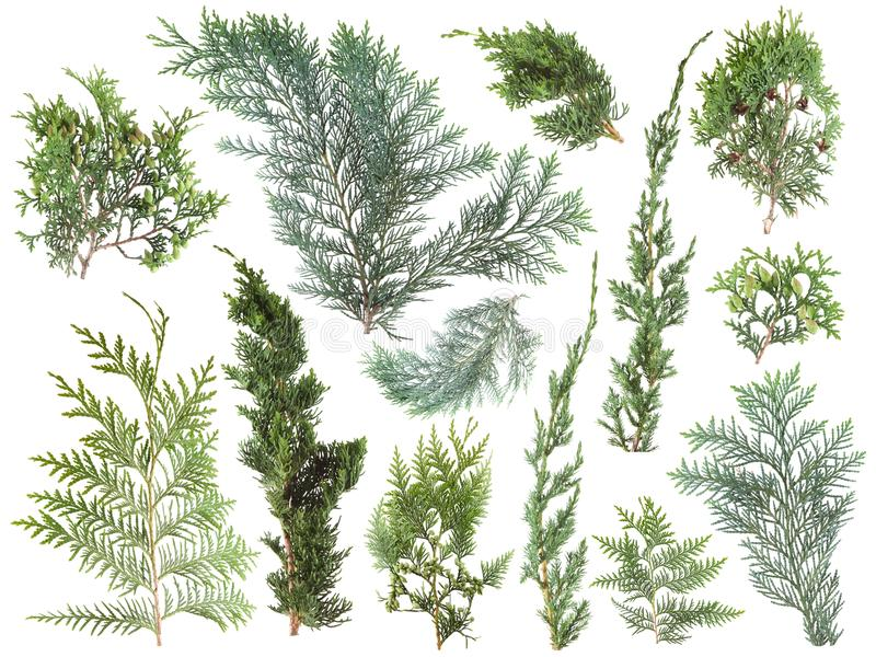 Different kinds of fresh green isolated conifer leaves, fir branches on white stock photography
