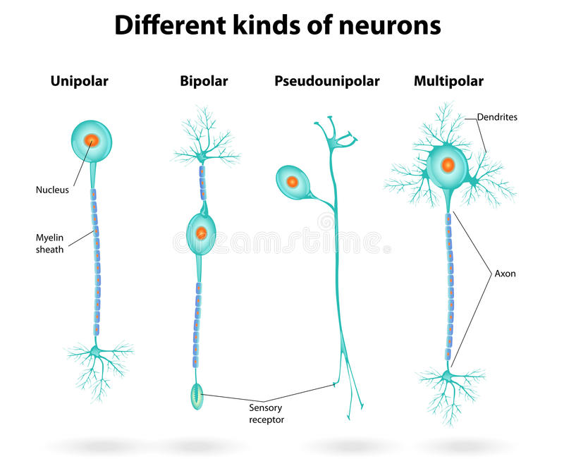 Different kinds of neurons royalty free illustration