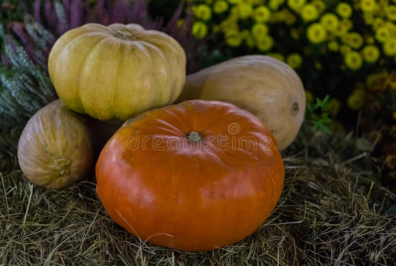 Different kinds of pumpkins. long round yellow orange vegetables on a blurry background of flowers stock image