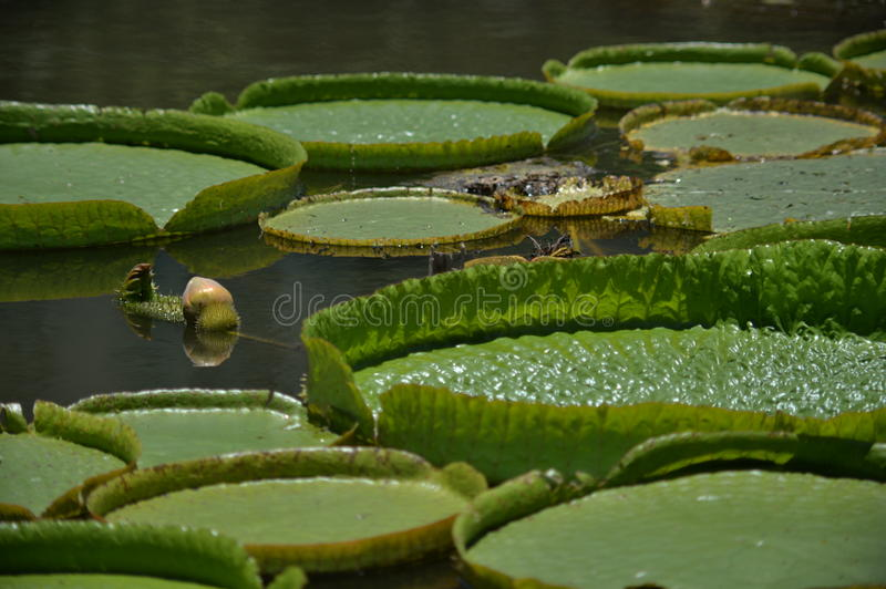 Different lotus leave floating on the lake. Another type of lotus leave floating like small umbrellas on the lake of Honghu park royalty free stock photos