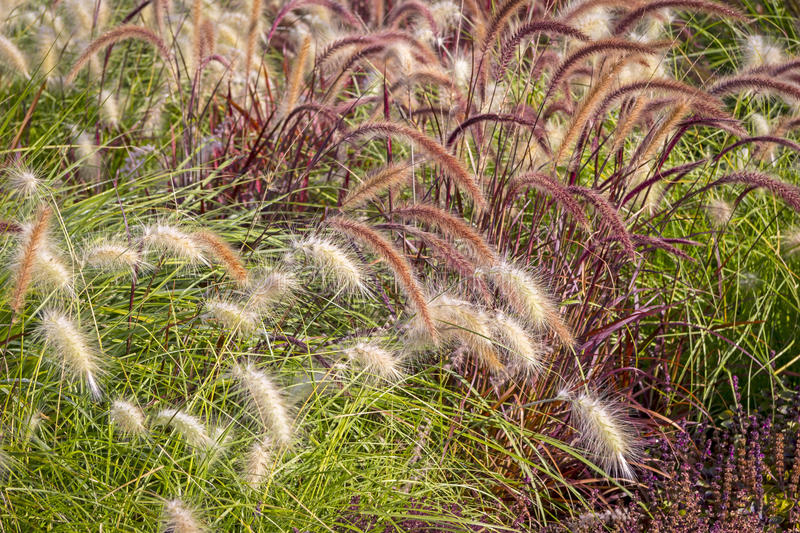 Different Ornamental Grasses stock images