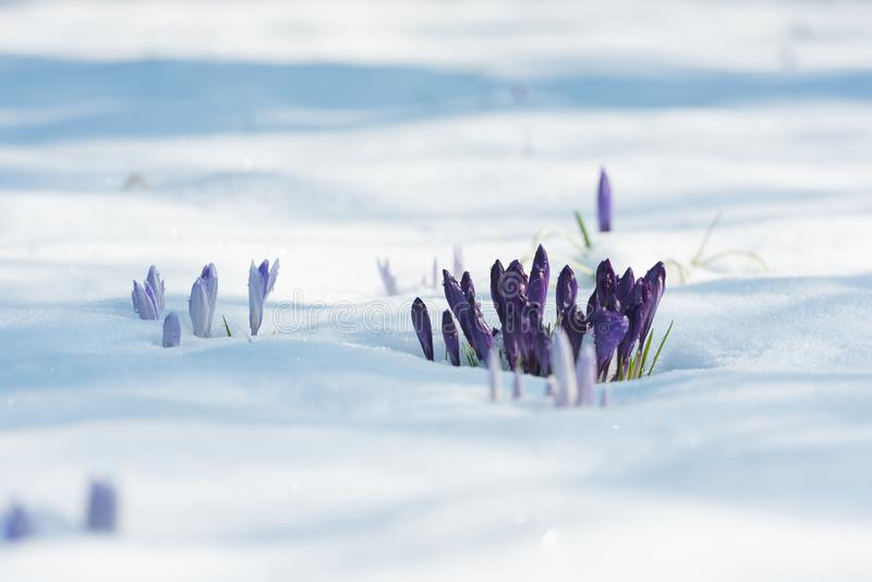 Purple crocuses in early spring royalty free stock images