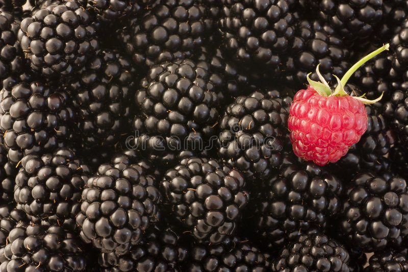 Different - raspberry and blackberries. A single raspberry stands out among blackberries stock photos