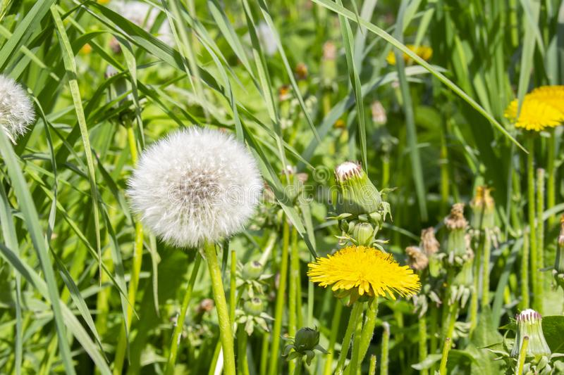 Different stages of flowering and ripening of dandelion seeds in one photo frame. Bud, yellow flower and white fluffy ball with stock images