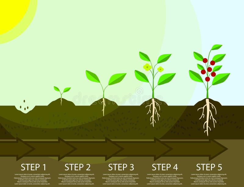 Different steps of growing plants. Planting tree process infographic. Flat Illustration royalty free illustration