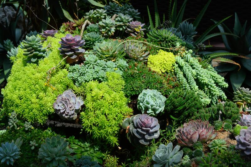 Different succulents, sempervivum, green and red stock images