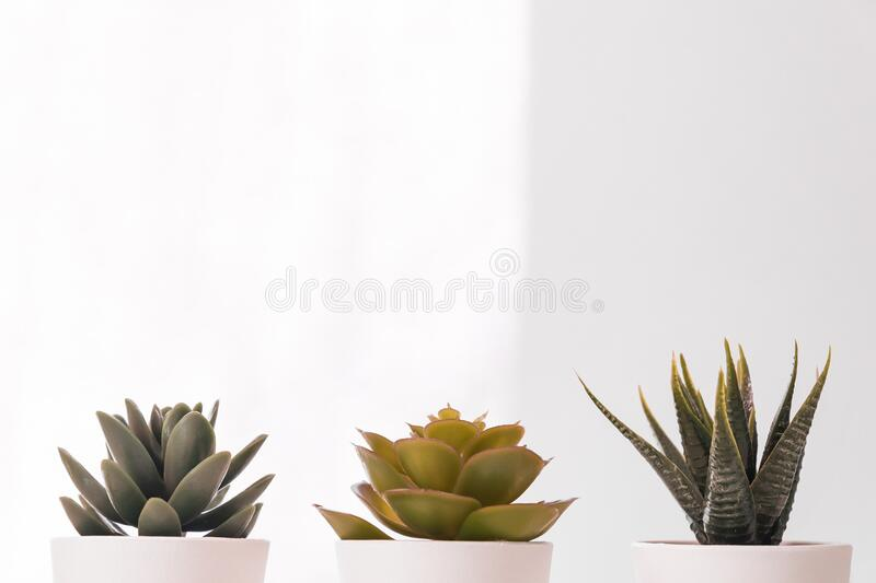 Different Succulents in small white pots on the table. home decor, nordic style design.  royalty free stock photography