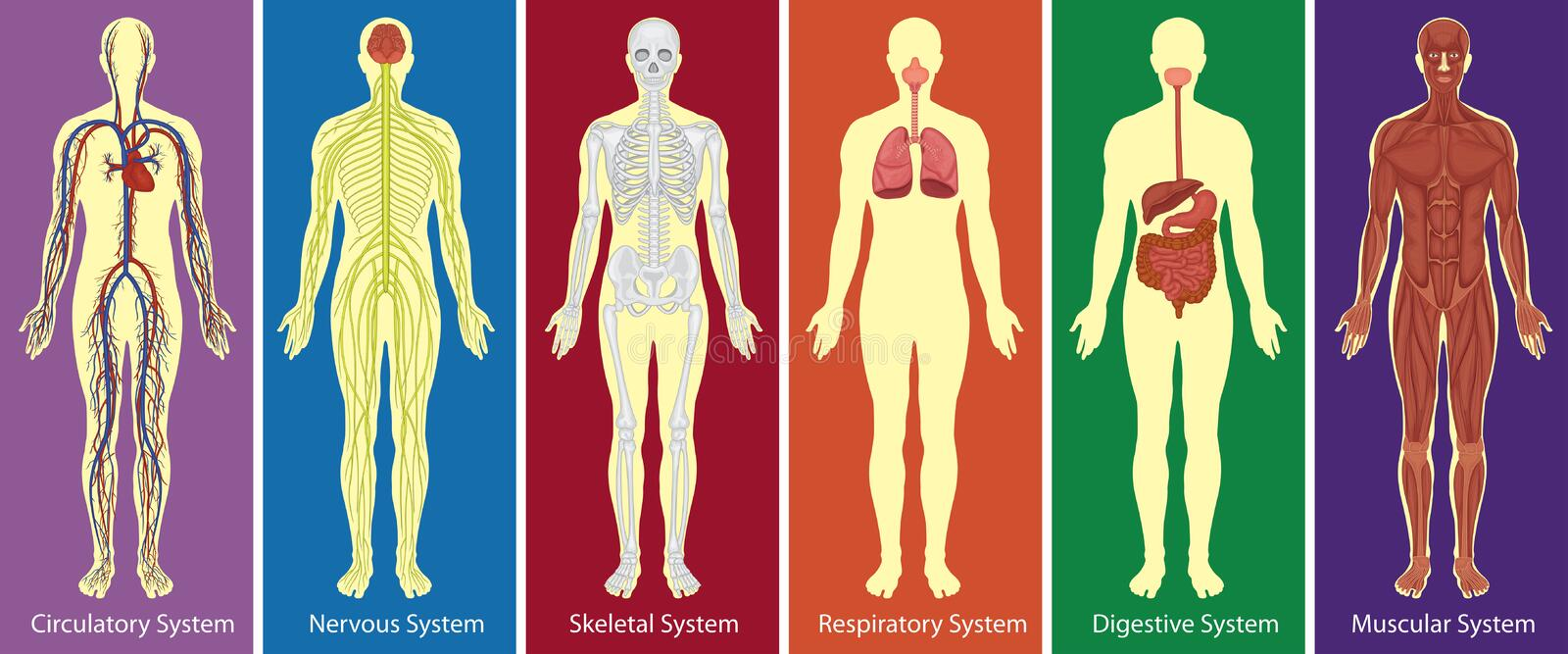 Different systems of human body diagram. Illustration royalty free illustration