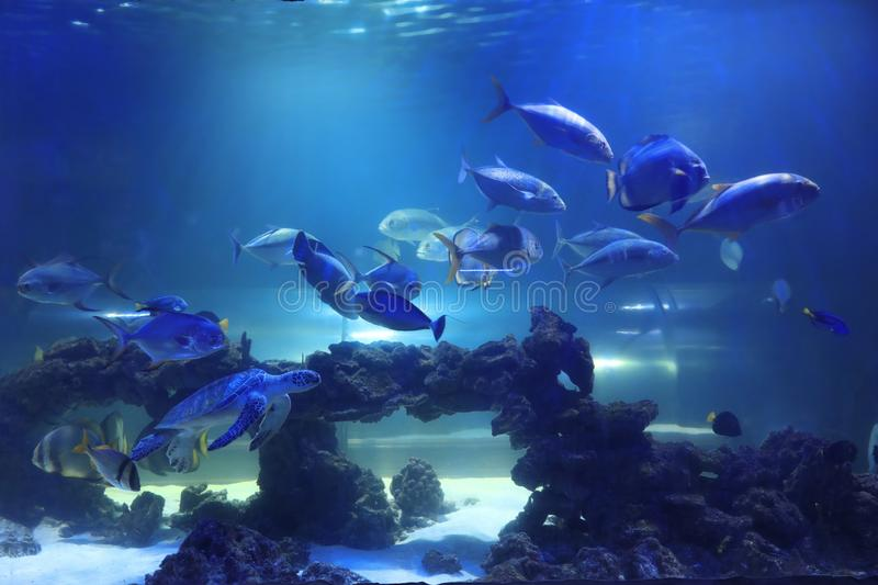 Different tropical fishes and turtle swimming in aquarium water. Different tropical fishes and turtle swimming in clear aquarium water stock images