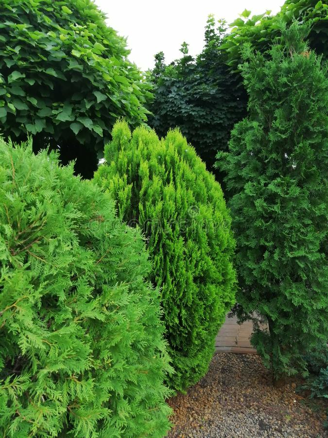 Different types of coniferous trees in the garden stock image