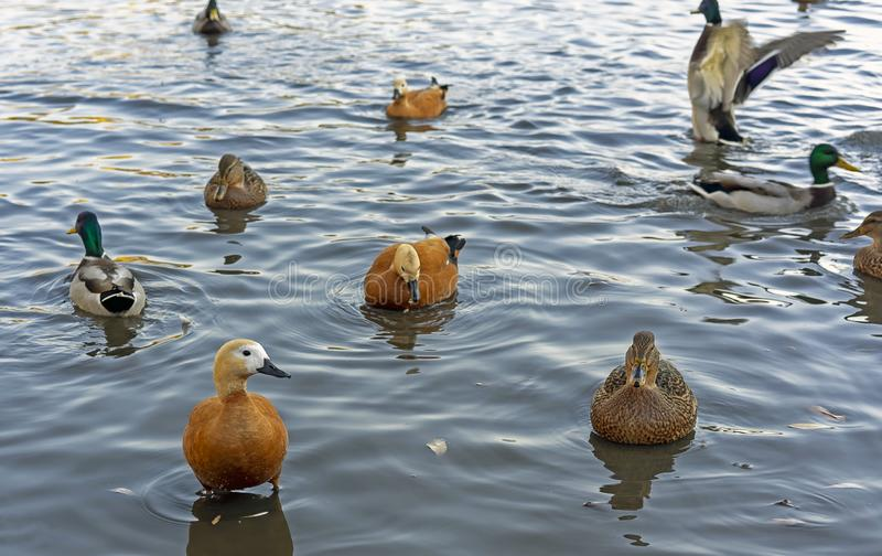 Different types of ducks in the pond of the city park. Different types of ducks in the pond of the city par royalty free stock photo