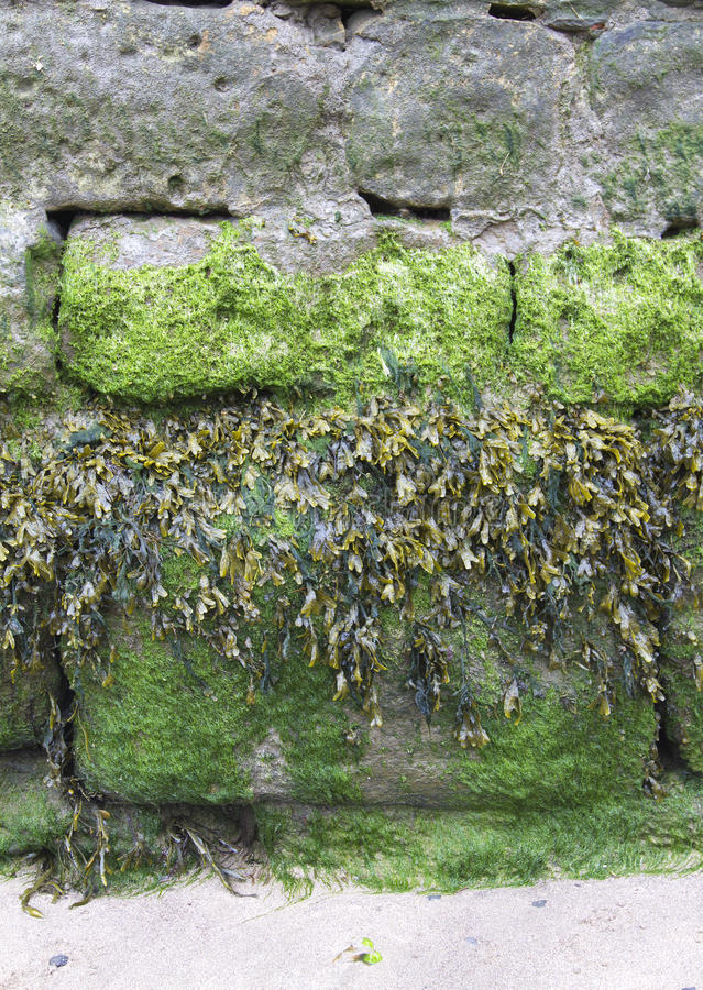 Free Different Types Of Seaweed Growing On A Harbour Wall Royalty Free Stock Photography - 31360997
