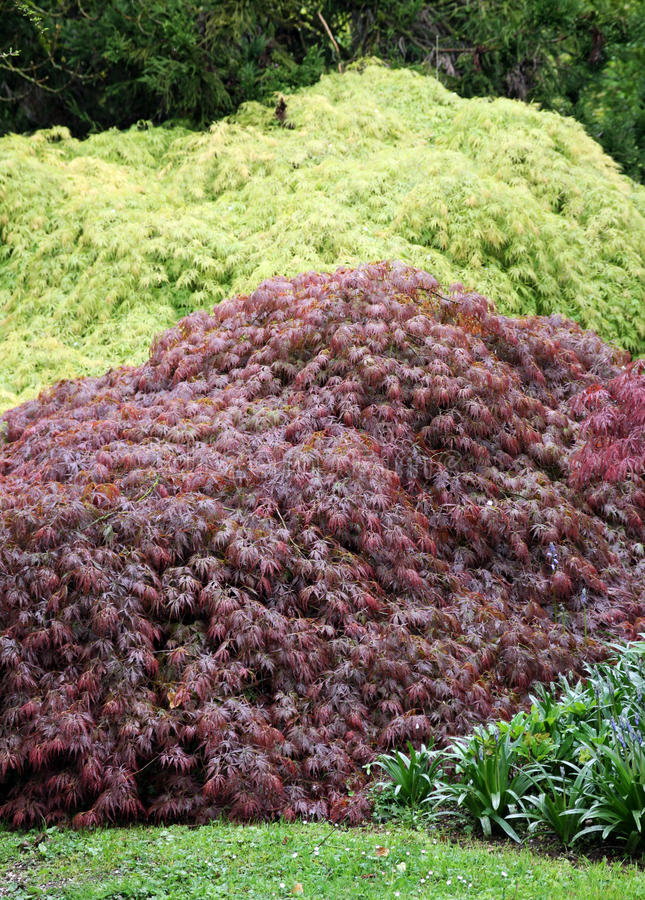 Different Types Of Ornamental Maple Stock Photo Image Of Maple