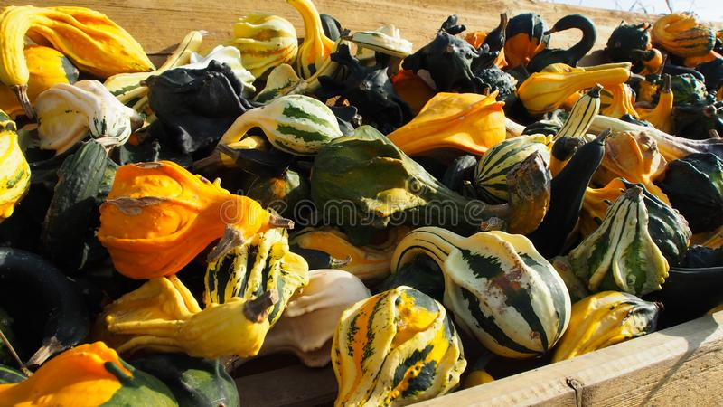 Different types of colorful pumpkins. Autumn harvest of different types of colorful pumpkins inj a box royalty free stock image