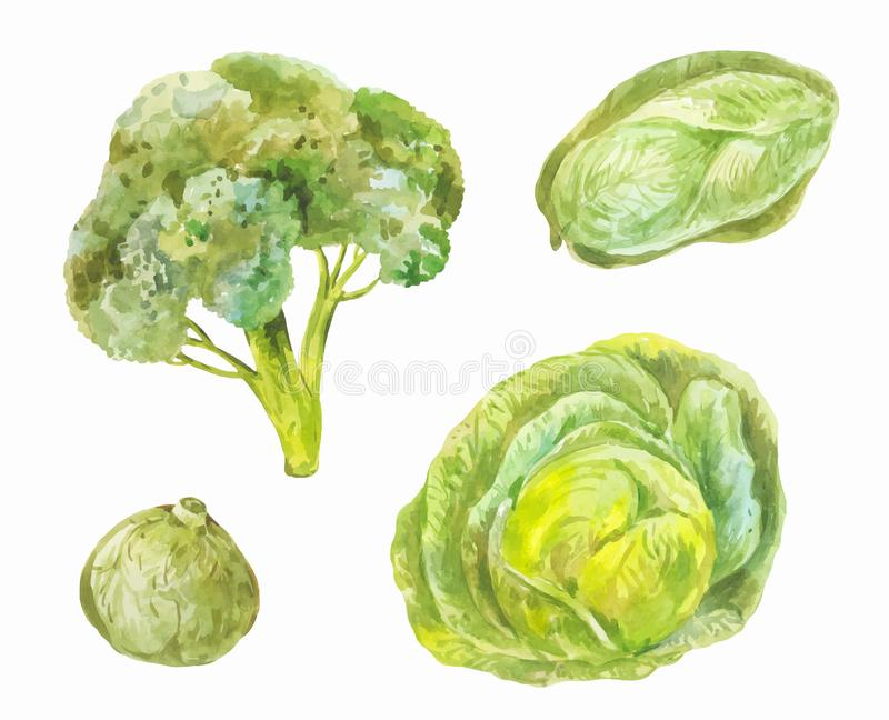 Different varieties of cabbage Peking, broccoli, white. Waterc. Different varieties of cabbage. Watercolor set of green healthy food isolated on white stock illustration