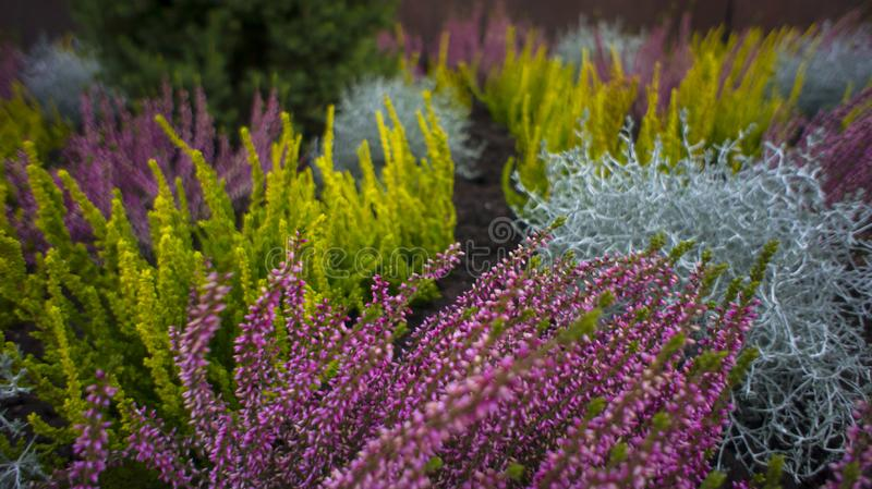 Different varieties of heather, Erica. Autumn decoration of the stock image