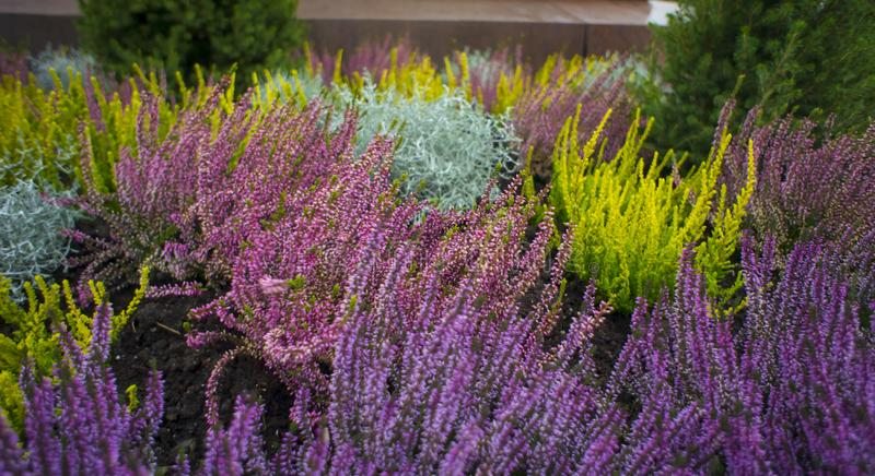 Different varieties of heather, Erica. Autumn decoration of the stock photos