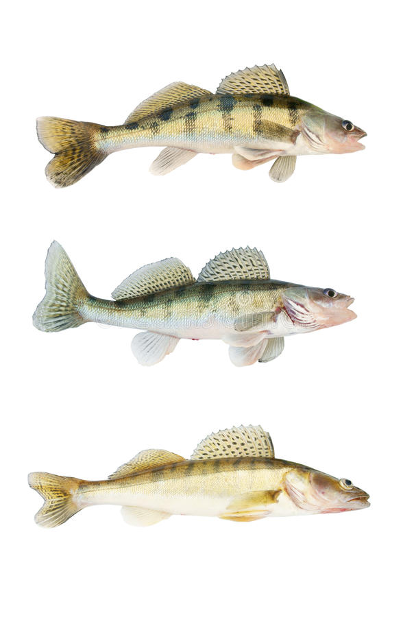 Download Different Zander Or Pikeperch Collection Isolated Stock Photo - Image: 11786224