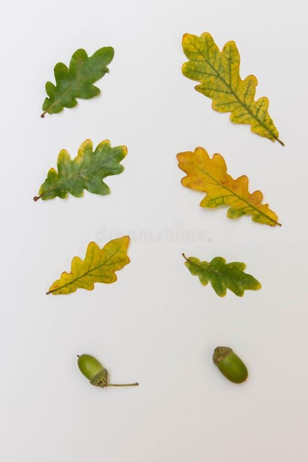 Differente nella dimensione ed in ombra delle foglie e delle ghiande della quercia immagini stock