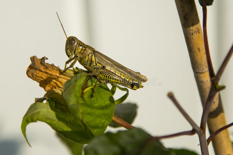 Differential Grasshopper on Dead Flower. This large brown and yellow grasshopper with wings folded and black chevron pattern on yellow legs and spotted brown stock photos