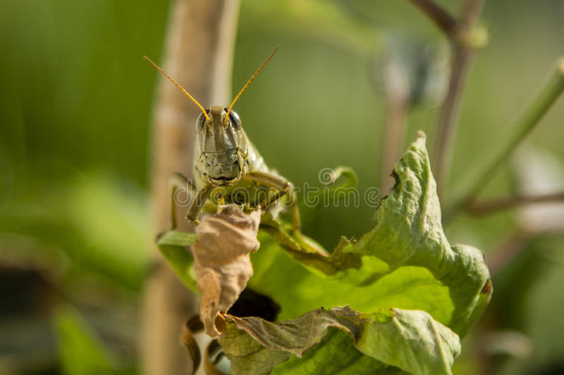 Differential Grasshopper Face. Looking like an alien from outer space, the large spotted eyes, green sculptured face with orange antennae and legs grasping dead royalty free stock photography